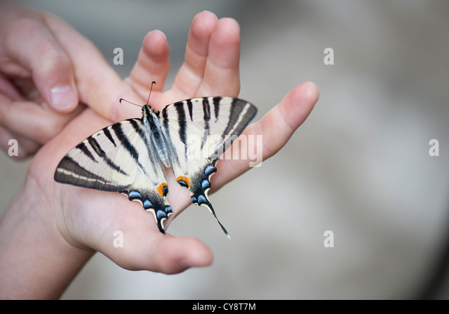 Child holding zebra swallowtail butterfly in palm, cropped - Stock-Bilder