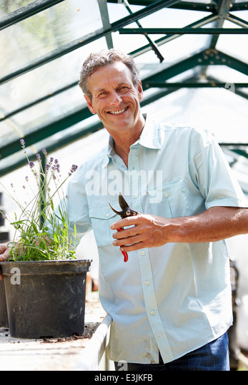 Middle Aged Man Working In Greenhouse - Stock Image