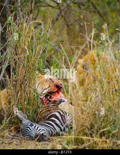 Lion eating killed zebra. National Park. Kenya. Tanzania. Masai Mara. Serengeti. An excellent illustration. - Stock Image