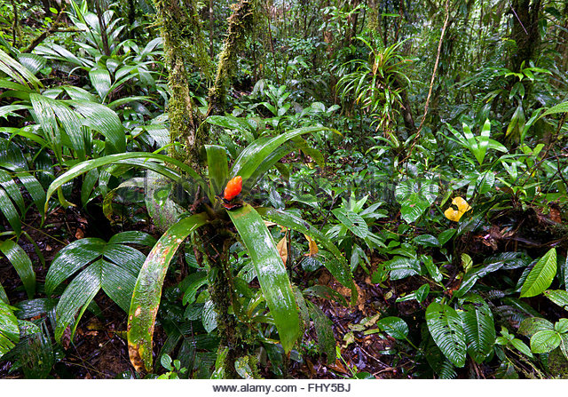 Lower parts of the cloud forest in Omar Torrijos national park (El Cope), Cocle province, Republic of Panama. - Stock-Bilder