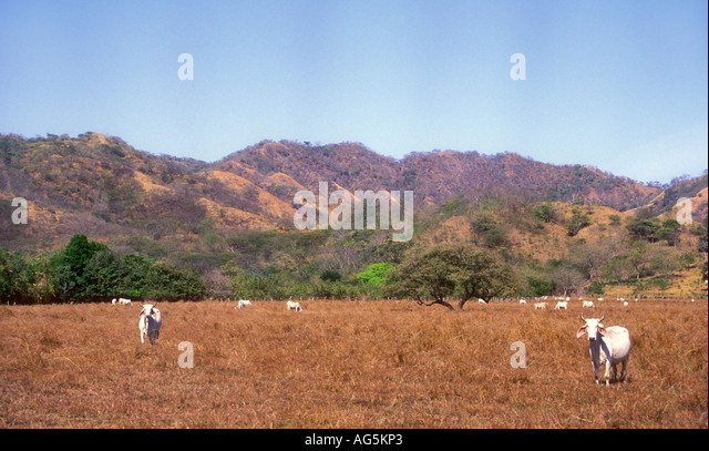 Costa Rica cattle cows in dry field drought deforestation - Stock Image