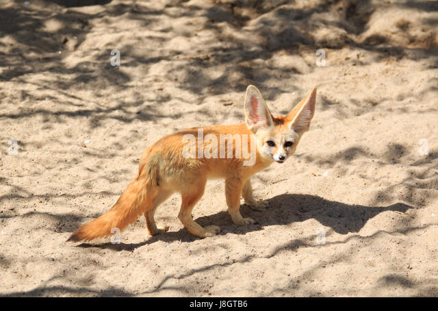 Fennec Fox, desert fox, Vulpes zerda - Stock Image