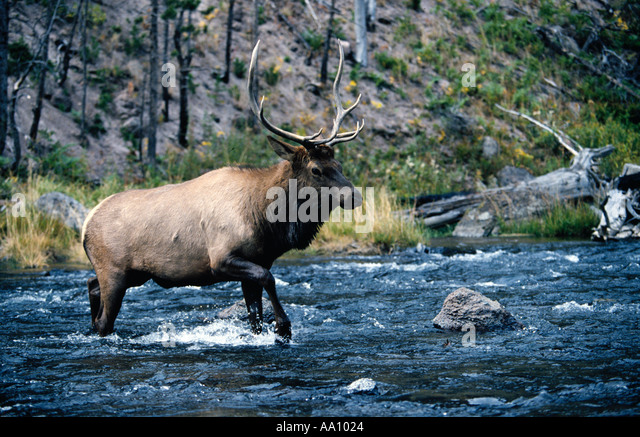 A 4x4 8 point bull elk Cervus canadensis crosses river in Yelllowstone National Park Wyoming COPYRIGHT DUANE BURLESON - Stock Image