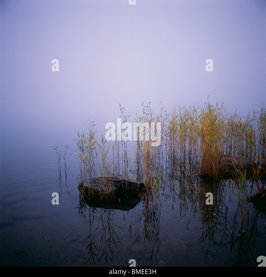 View of reeds with fog - Stock Image