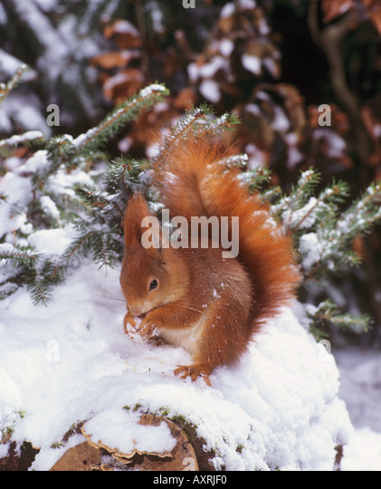 European red squirrel in snow Sciurus vulgaris - Stock Image