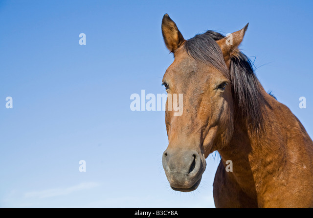 Africa, Namibia, Wild horse, portrait, close-up - Stock-Bilder