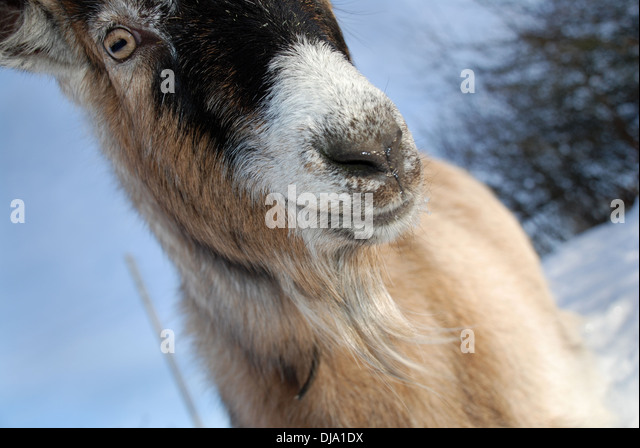 The Goat face - Stock Image