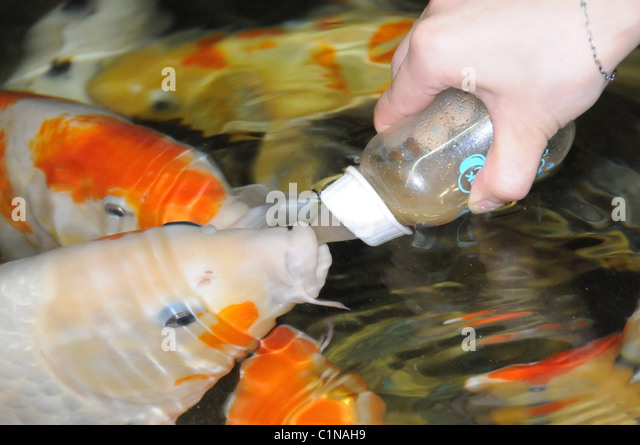 Pampered fish in world expensive stock photos pampered for Expensive koi fish