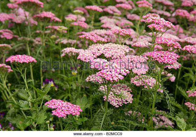 Wisconsin Kenosha Simmons Island Southport Lighthouse flower garden pink - Stock Image
