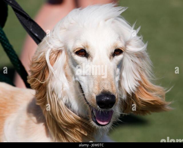 closeup pet dog afghan hound canine aristocrat head closeup animal pet mammal - Stock Image