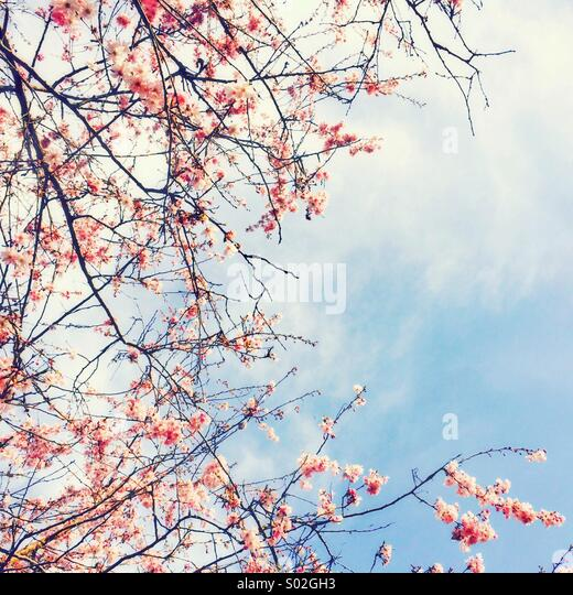 Pink blossom and blue sky - Stock Image