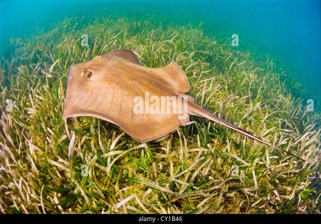 Southern Stingray, Dasyatis americana, Biscayne Bay, Florida, USA - Stock Image