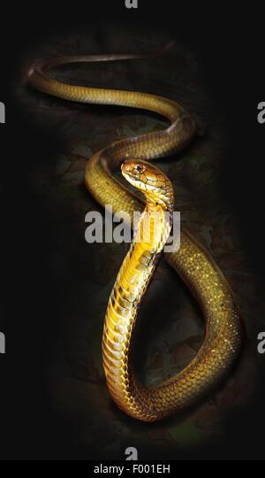 king cobra, hamadryad (Ophiophagus hannah), erect - Stock-Bilder