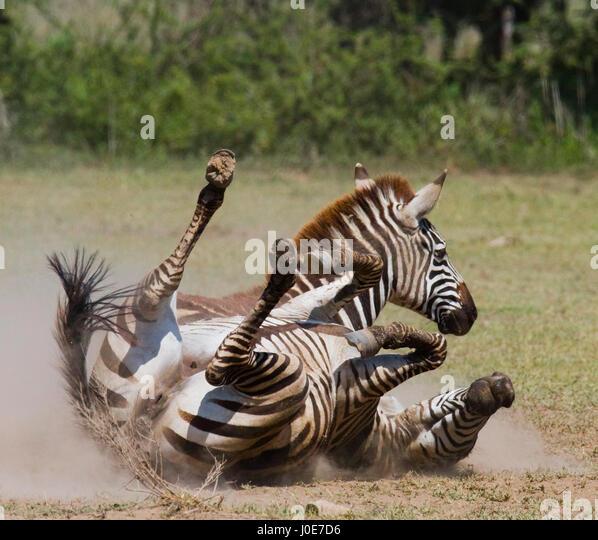 Zebra lying a dust. Kenya. Tanzania. National Park. Serengeti. Maasai Mara. An excellent illustration. - Stock Image