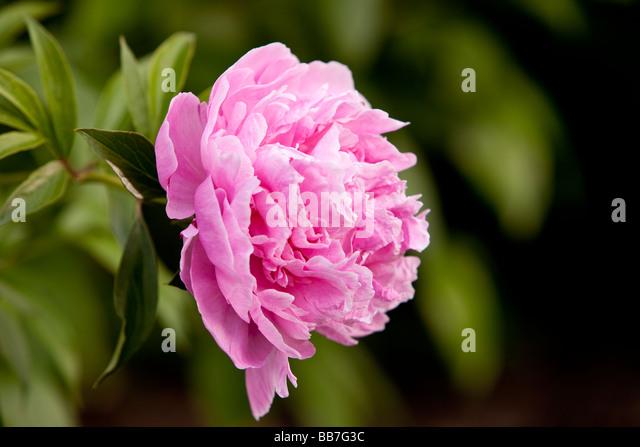 Peony flower - Stock Image