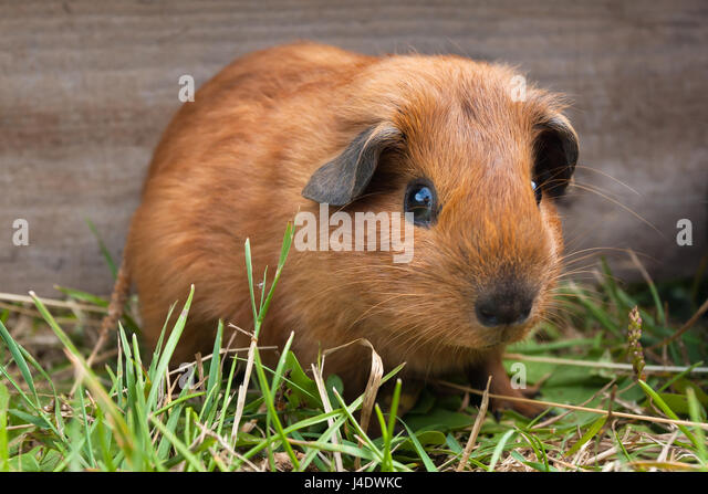 young guinea pig sitting in the cage among grass - Stock Image