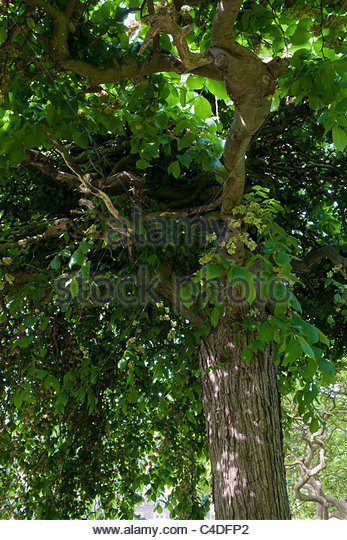 weeping elm Ulmus 'Den Haag' - Stock Image