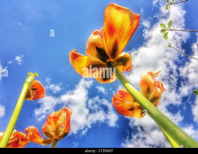 Tulips and sky. - Stock-Bilder