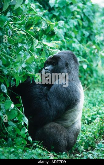 Mountain Gorilla Gorilla gorilla beringei Silverback showing silvery saddle Rwanda Uganda DRC P N des Volcans Rwanda - Stock Image