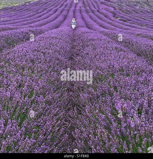 Lavender fields in Hitchin - Stock-Bilder