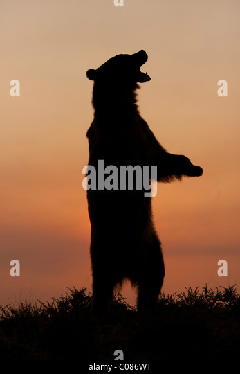 Grizzly Bear, standing up on hind legs at sunrise, Montana, USA - Stock Image