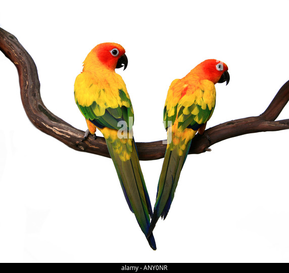 Two Beautiful Sun Conure Parrots on a Tree Branch - Stock Image