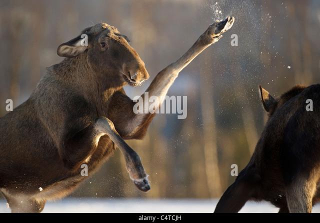 Moose, European Elk (Alces alces). Females fighting over food, Norway. - Stock-Bilder