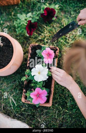 Woman planting surfinia/petunia plants into flowerpot - Stock Image