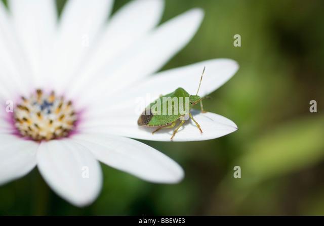 Green stink bug on flower - Stock Image