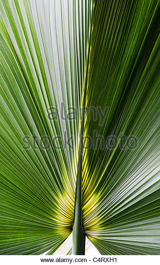 Bermuda Palmetto. Sabal bermudana. Bibby tree leaf - Stock Image