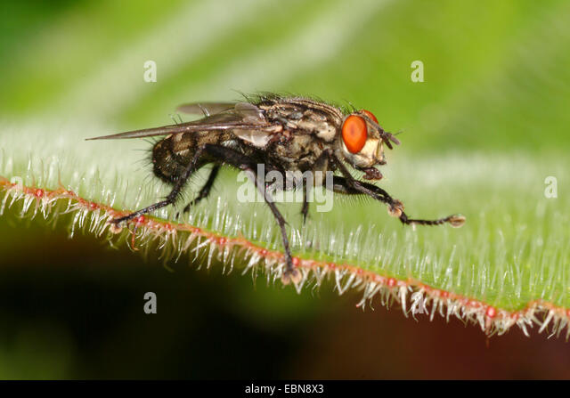 Flesh Fly (Sarcophaga spec.), sitting on a leaf - Stock Image