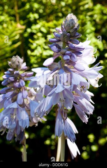 Hosta 'Reversed' flowers - Stock Image