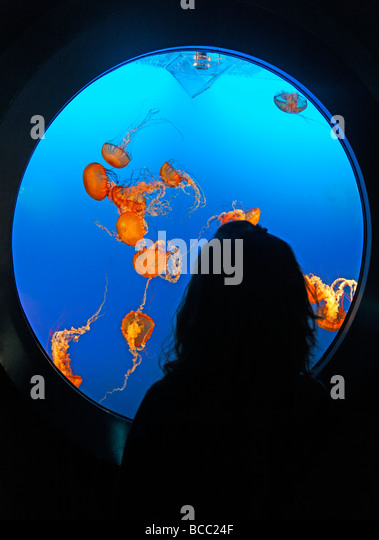 Sea Nettles Jellyfish Chrysaora fuscescens in Aquarium in Vancouver City im Stanley Park Canada North America - Stock Image