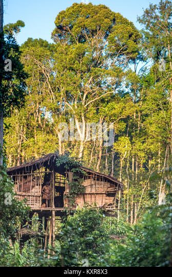 Traditional Korowai house perched in a tree above the ground, Western Papuasia, former Irian-jaya, Indonesia - Stock Image
