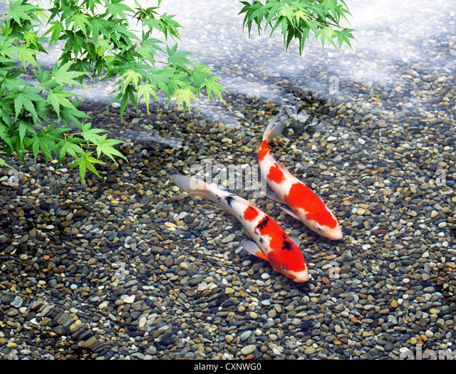 Nishikigoi stock photos nishikigoi stock images alamy for Nishikigoi koi