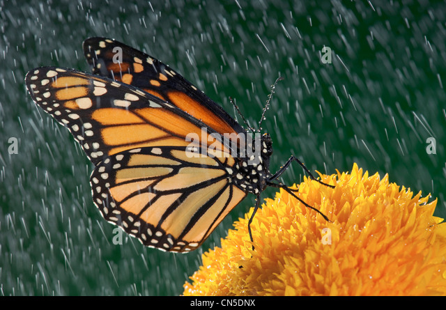 Monarch Butterfly (Danaus plexippus) in Rain on Sunflower, Nova Scotia - Stock Image