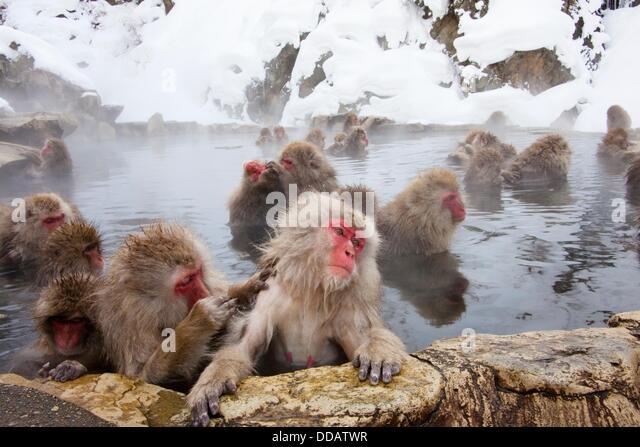 Japanese macaques (Macaca fuscata). Jigokudani Monkey Park, Nagano Prefecture, Japan - Stock-Bilder