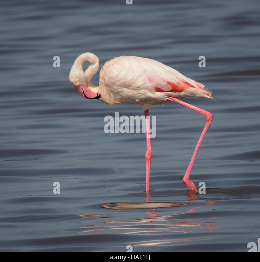Greater Flamingo Serengeti national park Tanzania - Stock Image