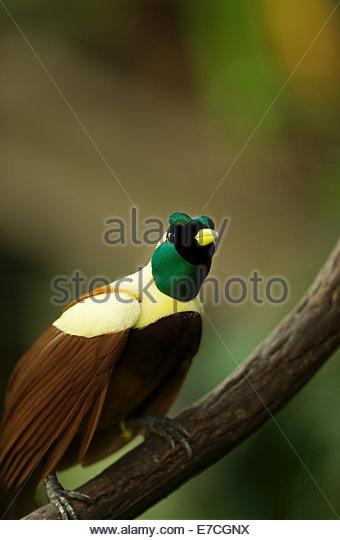 The red bird-of-paradise (Paradisaea rubra, also cendrawasih merah) - Stock-Bilder