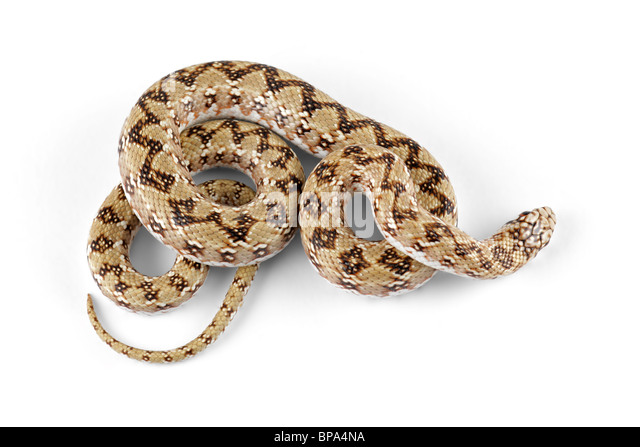 Dwarf beaked snake (Dipsina multimaculata) on white - Stock Image