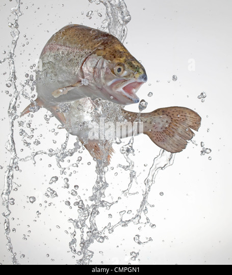 rainbow trout jumping with water splashes - Stock Image