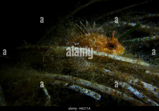 Dwarf Rockfish, Scorpaena notate, on Sea grass (Posidonia oceanica) algae covered fishing line in the Mediterranean - Stock Image