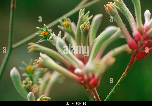 kangaroo paws (Anigozanthos manglesii), inflorescence - Stock Image