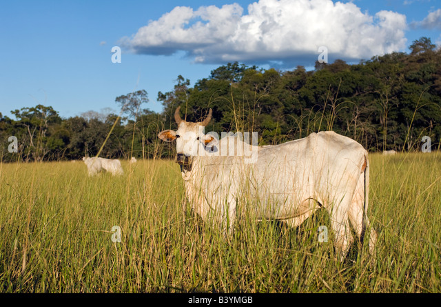 Cattle ranching in Mato Grosso do Sul in Brazil has resulted in massive deforestation in the state - Stock Image