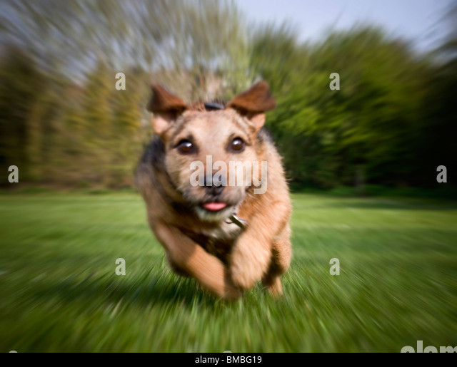 terrier dog running full speed straight at the camera - Stock Image