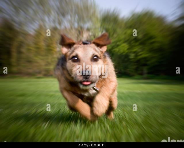 terrier dog running full speed straight at the camera - Stock Image