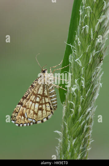 Latticed Heath Moth (Semiothisa clathrata) Day flying adult female resting on grass stem, Leicestershire, May - Stock-Bilder