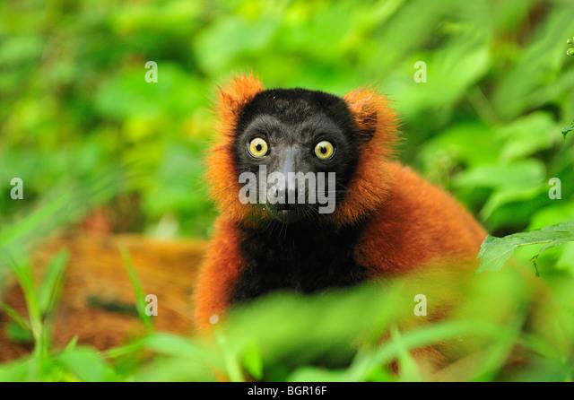 Red Ruffed Lemur (Varecia rubra), adult, Masoala National Park, Madagascar - Stock Image