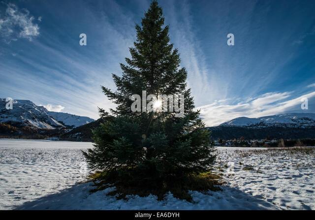 Fir tree in snow - Stock Image
