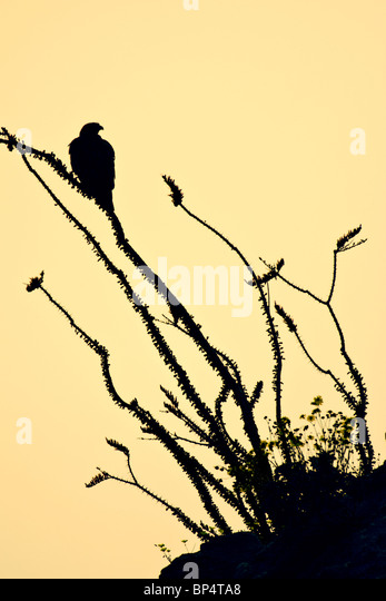 Red-tailed hawk perched in Ocotillo - vertical silhouette - Stock-Bilder